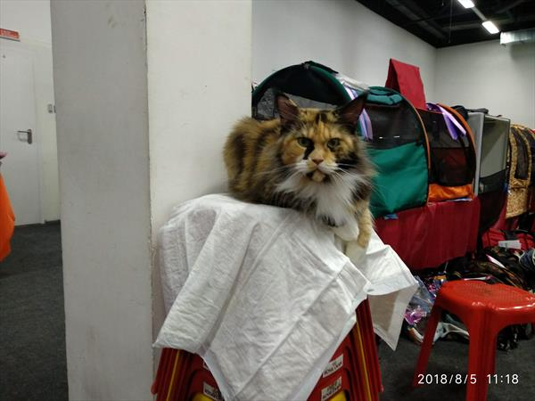 Урся перед выставкой, нечесанная :)